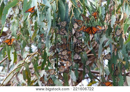 Many Monarch Butterflies in a Eucalyptus tree. The monarch butterfly may be the most familiar North American butterflyand an iconic pollinator species.