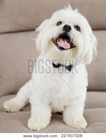 A happy Maltese dog sitting on a sofa wearing a bow tie