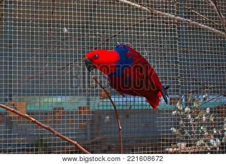 Female Eclectus Parrot in free flight aviary. poster
