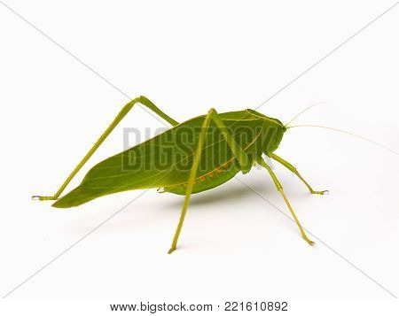 (Close Up) Grasshopper ,Green leaf Katydid , isolated on white background.