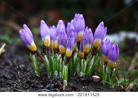 The group of harmonous crocuses with not opened buds waits for the spring sun.