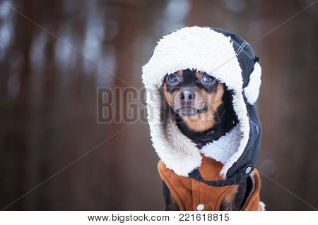 Dog in  Winter clothes , space for text. That terrier in a hat with a fur hat and a sheepskin coat. Winter theme, cold, dog clothes, christmas, new year, dog year