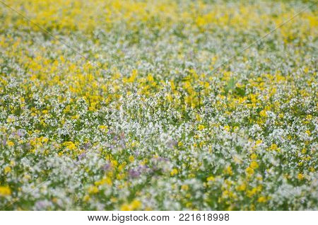 Field of bright yellow rapeseed in spring. Rapeseed Brassica napus oil seed rape