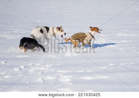 Basenji wearing winter coat playing with black and white mixed breed dogs