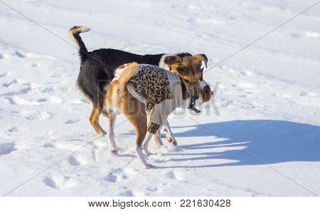 Black mixed breed female dog bites Basenji on the neck while playing on winter snow