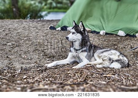 Black and white color Siberian husky with blue eyes sitting on the sand and stares with head bowed.