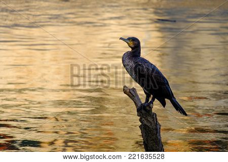 Nature photography - a black cormorant along the banks of the Tiber (Rome, Italy, Europe).