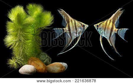 Astyanax fasciatus mexicanus - Anoptichthys jordani - blind cave mexican tetra
