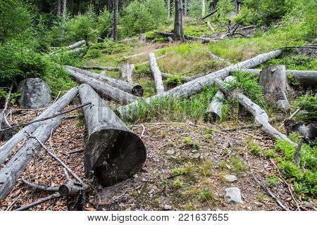 Felled old logs in the woods. Forest