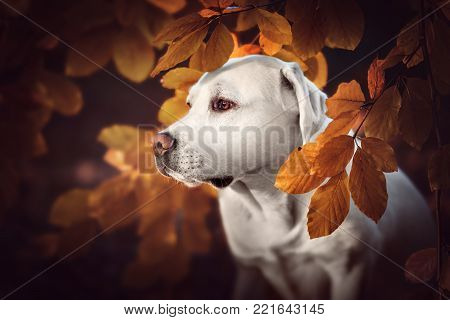 portrait of beautiful white purebred labrador retriever dog puppy in the forest during autumn besides leaves