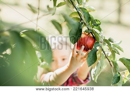 Girl With Apple In The Apple Orchard