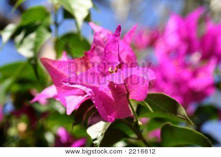 Bougainvillea Flowers Macro
