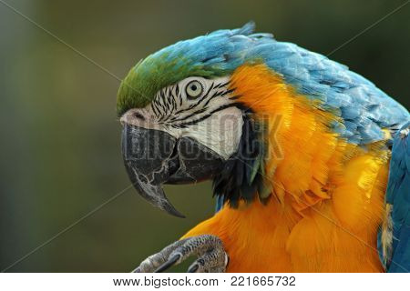 Blue and yellow macaw (Ara ararauna) in profile with a foot raised into view and a green blurred background.