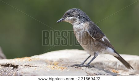 Fiscal fly catcher sitting on dry rocks in the sun