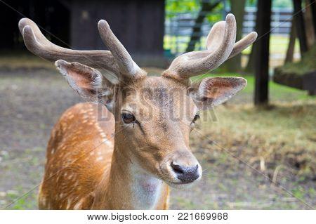 Young royal deer at zoo stands close