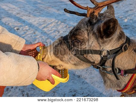 A woman is feeding a reindeer. The deer are fed with moss. The reindeer likes moss very much. The moss is in a yellow plastic box.