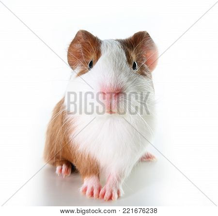 Cute little dutch guinea pig on studio white background. Isolated white pet photo. Sheltie peruvian pigs with symmetric pattern. Domestic guinea pig Cavia porcellus or cavy, is a species of rodent belonging to the family Caviidae and the genus Cavia.
