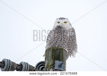 Snowy Owl (bubo scandiacus) sitting on a utility pole in the wild and looking at camera.  Lots of detail and room for copy if needed.