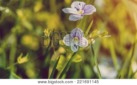 Blooming wildflowers in a meadow. close up. Lilac blooming Cardamine pratensis against the blurred nature background of a rural field. instagram toning efect