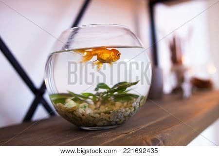 goldfish in the aquarium. fish in the interior, a small round aquarium home