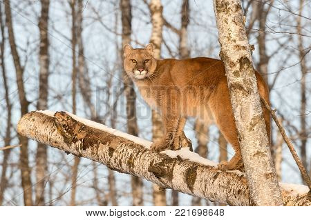 Adult Female Cougar (Puma concolor) Stands on Birch - captive animal