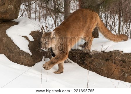 Adult Female Cougar (Puma concolor) Steps Off Rock - captive animal