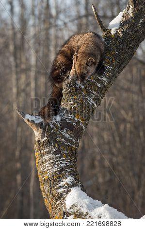 Fisher (Martes pennanti) Looks Down Tree Trunk - captive animal