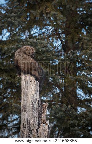Fisher (Martes pennanti) Looks Over Shoulder - captive animal