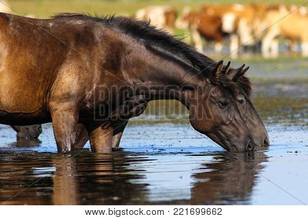 Two wild black horses drinking water on watering place