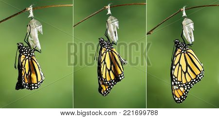 Monarch Butterfly (Danaus plexippus) drying its wings during the first hour after emerging from its chrysalis