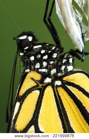Close up of Monarch Butterfly,  Danaus plexippus and  cocoon