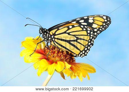 Monarch Butterfly Danaus plexippus on the yellow flower over blue sky