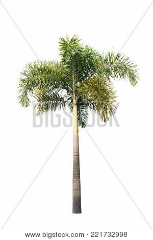 Single palm tree isolated on white background