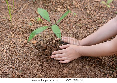 Woman hands planting the young mango tree
