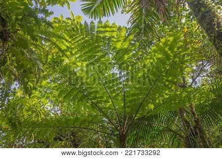Tree fern in the rain forest on Dominica island