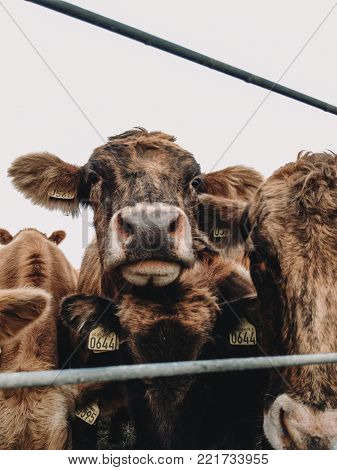 a brown calf with huge ears in a herd of cows looking curious at the camera in natural environment