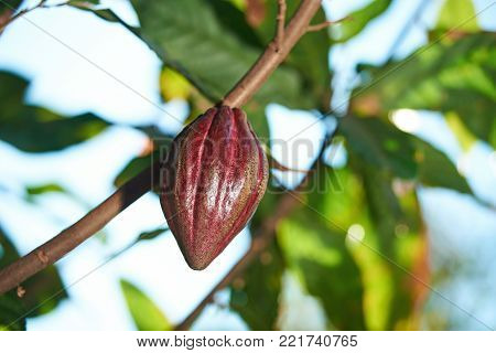 Red chocolate pod fruit on tree branch. Closeup of ready cocoa bean