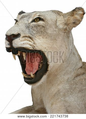 lioness hunting trophy objects isolated taxidermy animals theme