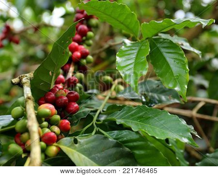 Organic Coffee Beans on a Branch in Colombia