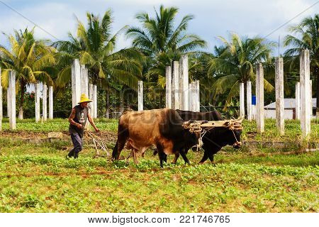Vinales, Cuba - December 6, 2017: Cuban peasant with oxen plow in the Vinales valley