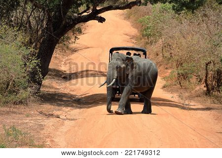 Wild elephants in the Yala National Park of Sri Lanka