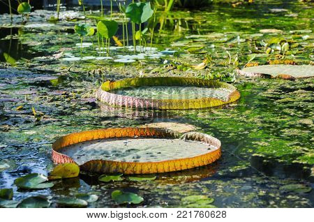 A nymphaea pamela in a botanical garden besides a giant leaf of a Victoria water lily