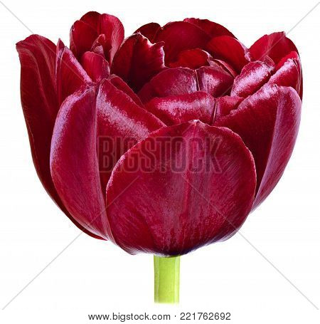 one dissolute Bud Tulip flower dark red close-up isolated on white