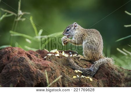 Smith bush squirrel in Kruger national park, South Africa ; Specie Paraxerus cepapi family of Sciuridae poster
