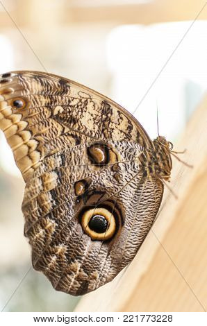 Close-up of an common buckeye butterfly resting on a wooden board