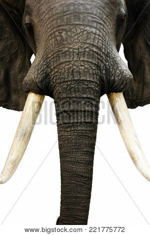 elephant hunting trophy objects taxidermy animals theme