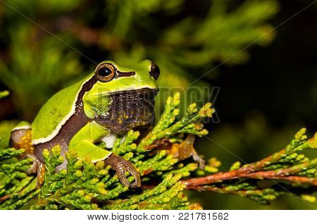 A close up of a Pine Barrens Tree Frog.
