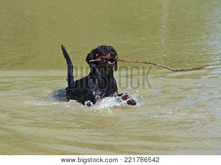 The young Slovakian hound gets a stick from water