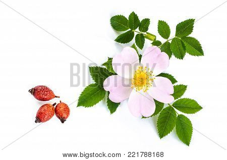rose hip berry and Dog rose flowers with green leaves. Over white background
