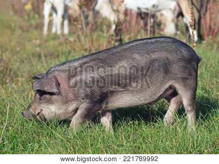 Striped pig of a wild color on a free pasture in the habitat